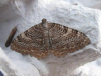 Rheumaptera undulata - Image: Hydria.undulata