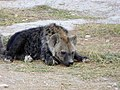 Hyena cub (33603669745).jpg