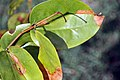 Hymenaea courbaril 5zz.jpg