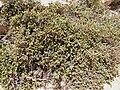 Hypericum aegypticum Malta 01.jpg
