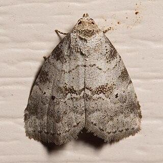 <i>Hyperstrotia</i> Genus of moths