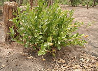 Icacina oliviformis