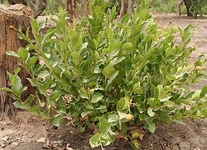 Icacinales - Icacina oliviformis