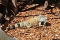 Iguana iguana LoroParqueTenerife green iguana IMG 5137.JPG