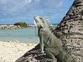 Iguane commun en Guadeloupe.jpg