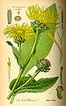 Illustration Inula helenium0.jpg