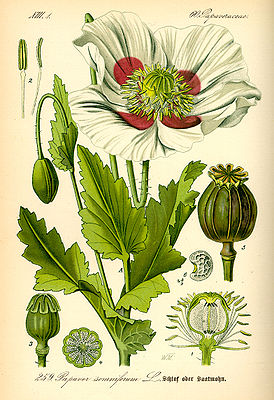 Schlafmohn (Papaver somniferum), Illustration.