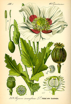 History of general anesthesia - Opium poppy, Papaver somniferum