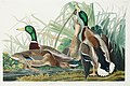 Illustration from Birds of America (1827) by John James Audubon, digitally enhanced by rawpixel-com 221.jpg