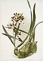Illustration from Reichenbachia Orchids by Frederick Sander, digitally enhanced by rawpixel-com 189.jpg