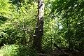 Im Mörsbacher Grund von Darmstadt-Arheilgen, stehendes Totholz, Baumpilze.JPG
