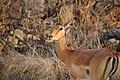 Impala in Moremi Game Reserve - Botswana - panoramio (1).jpg