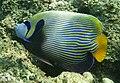Imperator-Kaiserfisch. Императорский ангел (Pomacanthus imperator) DSCF0245WI.jpg