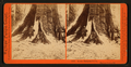 In the Mariposa Grove, Mariposa County, Cal, by Watkins, Carleton E., 1829-1916 4.png