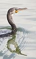 Indian Cormorant Kozhikode.jpg