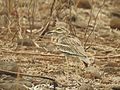 Indian stone-curlew showing camouflague behavior.jpg
