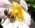 Insekt auf einer Blüte der Hunds-Rose 7978.JPG