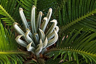 Vernation - These cycad leaves are produced by involute vernation.