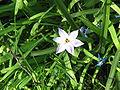 Iphaeon uniflorum flower.jpg