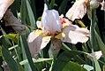 Iris Champagne Elegance 6zz.jpg