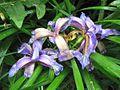 Iris graminea PID1327-2.jpg