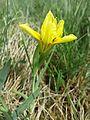 Iris humilis subsp. arenaria sl16.jpg