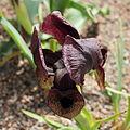 Iris iberica ssp. lycotis-IMG 2176.jpg