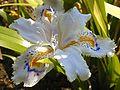 Iris japonica.jpg