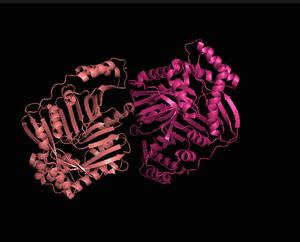 Isochorismate synthase - Ishochorismate Synthase cartoon view (2 subunits)