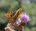 Issoria lathonia Kl Perlmuttfalter 160703-0437 TegelFließ SOOCx.jpg