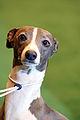 Italian Greyhound (3342734527).jpg
