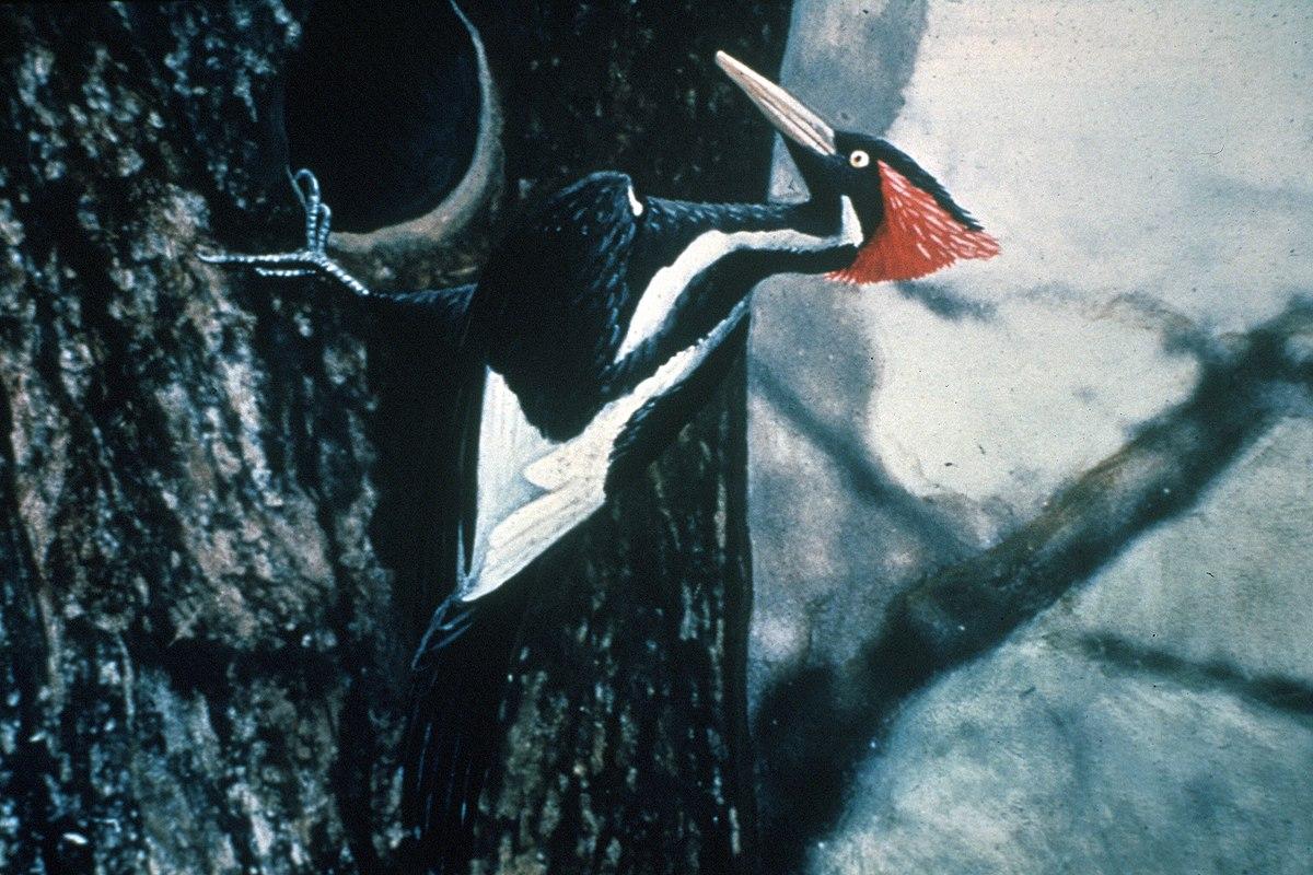 Ivory-billed woodpecker - Wikipedia