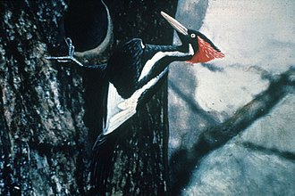 Ivory-billed woodpecker - A hand-coloured photo of a male from 1935