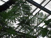 Jacaranda acutifolia0