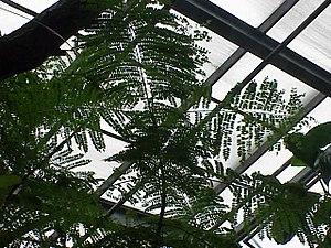 Jacaranda acutifolia0.jpg