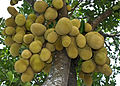 Jackfruit National fruit of Bangladesh.jpg