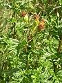 Jacobaea erucifolia 3.jpg