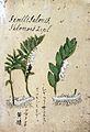 Japanese Herbal, 17th century Wellcome L0030118.jpg