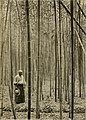 Japanese bamboos and their introduction into America (1903) (14591088088).jpg
