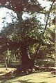 Jardin de Pamplemousses (3001714918).jpg