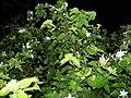 Jasmine plant 109.JPG