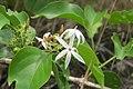 Jasminum malabaricum - Malabar Jasmine at Blathur 2014 (3).jpg