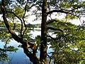 Jezioro Wielkie Partęczyny - panoramio.jpg