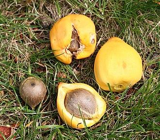 Jubaea - Fruits and nuts