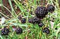 Juncus mertensianus (Mertens' rush ) - Flickr - brewbooks.jpg