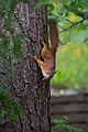 Juvenile squirrel climbing Pinus sylvestris, Hyvinkää, Finland, 2017-08-01 144852.jpg