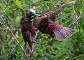 Kākā parrot feeding her fledged juvenile.jpg