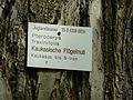 K ND 503.03.08 Kaukasische Flügelnuss 2.jpg