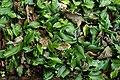 Kaempferia galanga 3685.jpg