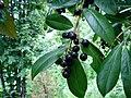 Karayemiş-meyve-1.JPG